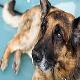 رایج ترین بیماری در سگ ژرمن شپرد