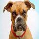 رایج ترین بیماری در سگ باکسر