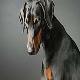 رایج ترین بیماری در سگ دوبرمن