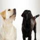 سگ لابرادور رتریور (Labrador Retriever)