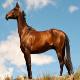 اسب ترکمن جرگلانی