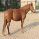 اسب ترکمن چنارانی