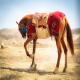 اسب ترکمن (Turkoman horse)