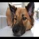 تشخیص تومور مست سل (mastcell) در سگ