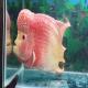 ماهی سیکلید گلد تریماکو (Gold Trimacu)