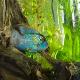 ماهی سیکلید آکارای آبی (Blue Acara Cichlid)