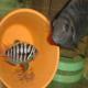 تکثیر و پرورش سیکلید گورخری (Convict Cichlid Breeding)