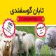 تابان گوسفندی