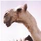 بیماری انحراف گردن شتر Wryneck disease