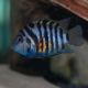 ماهی سیکلید گورخری (Convict Cichlid)