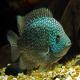 ماهی سیکلید تگزاس سبز (Green Texas Cichlid)