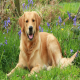رایج ترین بیماری در سگ گلدن رتریور