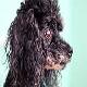رایج ترین بیماری در سگ پودل