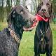 رایج ترین بیماری در سگ پوینتر مو کوتاه آلمانی
