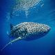 صید کوسه نهنگ جریمه سنگین نقدی دارد