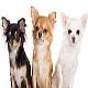سگ چی واوا (Chihuahua)