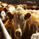 درمان ایدز با کمک گاوها