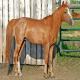 آشنایی با اسب خزر (Caspian horse)
