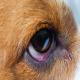 بیماری کونژکتیویت (Conjunctivitis) یا التهاب ملتحمه چشم