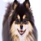 سگ پامرانیان (Pomeranian)
