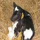 اسهال گوساله و اهمیت خواندن آغوز