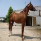 اسب قره باغ (Kara Bagh)