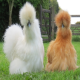 مرغ و خروس نژاد ابریشمی یا سیلکی (SILKIE FOWL)
