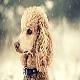 سگ پودل (Poodle)