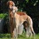 سگ نژاد بلوچی (BALUCHI HOUND)
