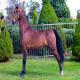 اسب نژاد مورگان (Morgan horse)
