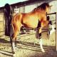 نژاد اسب دره شوری