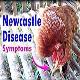 تأثیر استفاده از داروی متاکم در درمان بیماری نیوکاسل