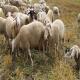 روش های پرورش گوسفند (بخش نخست)