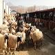 روش های پرورش گوسفند (بخش دوم)