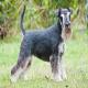 سگ نژاد اشنایزر (Schnauzer)