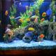 10 عدد از بهترین ماهی های زینتی آب شیرین