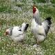 مرغ و خروس نژاد براهما- امپراتور (BRAHMAS CHICKEN)