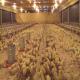 تأثیر رنگ نور بر رشد مرغ های گوشتی