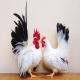 مرغ و خروس نژاد ژاپنی (Japanese bantam)