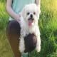 سگ مالتیز (Maltese)