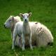 روش های همزمان سازی فحلی در گوسفند (بخش سوم)