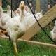مناسبترین سن کشتار مرغ چه زمانی است؟