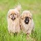 سگ نژاد پکینیز (Pekingese)
