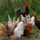 معرفی محبوبترین نژادهای مرغ و خروس زینتی در دنیا