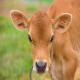 بيماریها و اختلالات شایع در گوسالهها تا سن شيرگيری