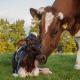 نقایص مادرزادی در گوساله ها