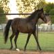 اسب نژاد میسوری فوکس تروتر (Missouri Fox Trotter)