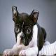 سگ بوستن تریر (Boston Terrier)