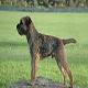 سگ بردر تریر (Border Terrier)