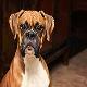 سگ باکسر (Boxer)